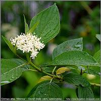 Cornus alba 'Sibirica' - Dereń biały odm. syberyjska