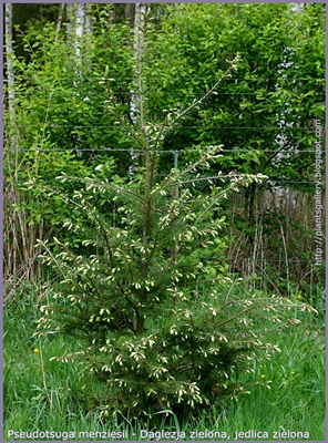 Pseudotsuga menziesii - Daglezja zielona, jedlica zielona