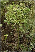 Salix arbuscula - Wierzba skandynawska