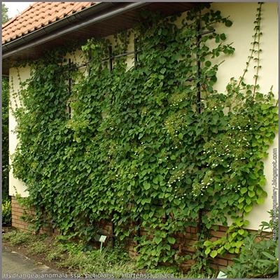 Hydrangea anomala ssp. petiolaris - Hortensja pnąca