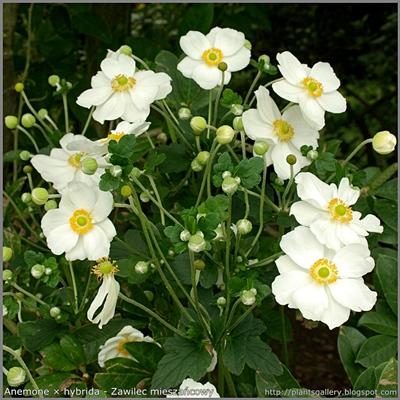 Anemone × hybrida - Zawilec mieszańcowy