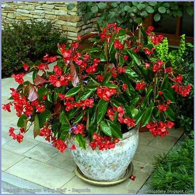 Begonia 'Dragon Wing Red' - Begonia