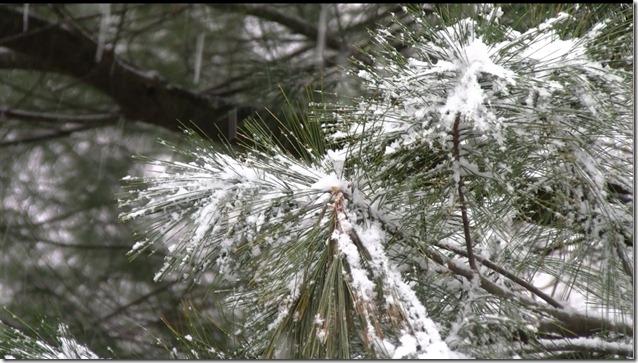 32611-pine