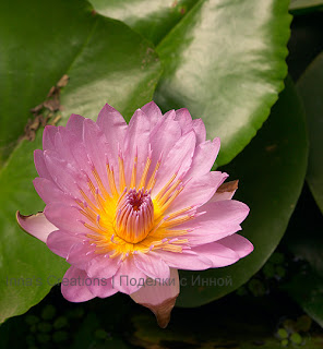 Water lily. Photo