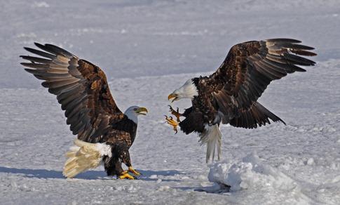 luta entre animais desbaratinando (2)