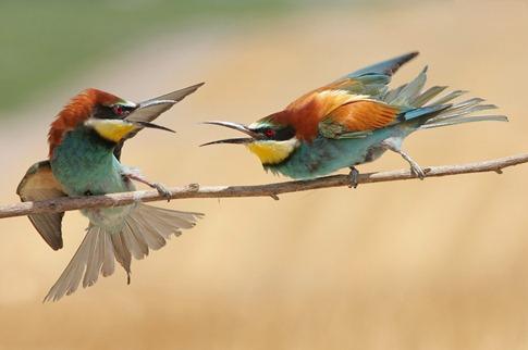 luta entre animais desbaratinando (4)