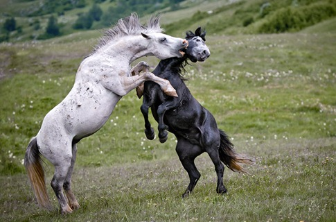 luta entre animais desbaratinando (7)