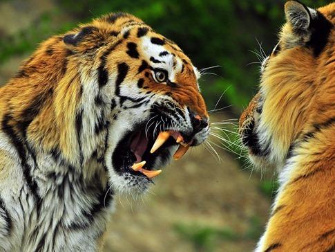 luta entre animais desbaratinando (26)