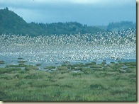 Shorebirds in Flight at Grays Harbor NWR