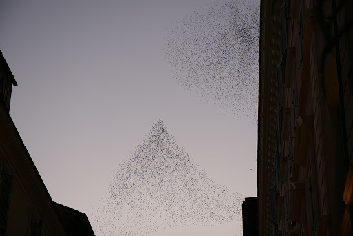 Starlings constellation near the Vatican