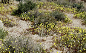 Field of Desert Dandelions in Rockhouse Canyon