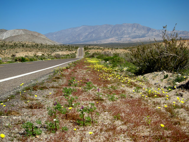 Wildflower update for the southern Anza Borrego Desert