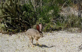 Jackrabbit in Indian Valley - Anza Borrego Desert
