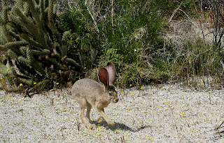 JackRabbit in the Anza Borrego desert