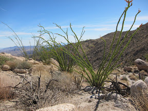 Healthy Ocotillo line a ridge above Indian Valley - Anza Borrego