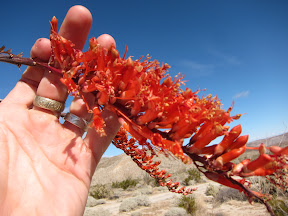 Blooming Ocotillo in Mortero Wash - Anza Borrego