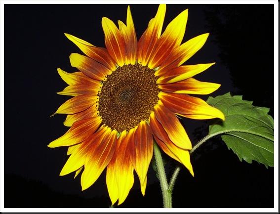 sunflower ring of fire (4)