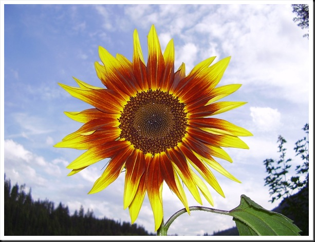 sunflower ring of fire (3)