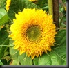 Sunflowers by Here I Am/Carrie