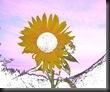sunflower (4) Snow