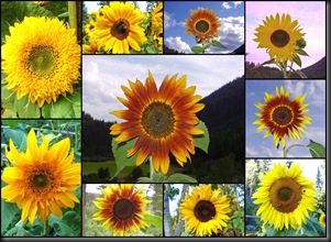 10 10 10 Sunflowers