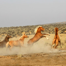 Stay Off My Turf by Kathy Tellechea - Animals Horses ( palomino, animals, nature, horses, outdoors, dust,  )