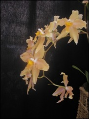 2008 orchid show 006