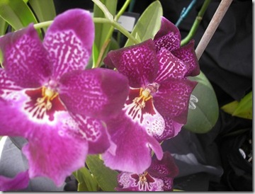 2008 orchid show 025