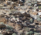 Desert Bighorn Sheep Herd sighting near Indian Hill - Anza Borrego Desert State Park