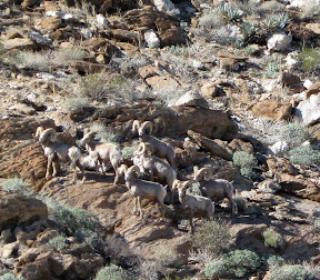 Anza Borrego - Desert Bighorn Sheep near Indian Hill 