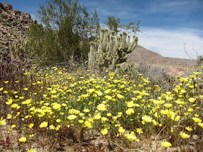 The petals of the Desert Dandelion only grow to 3/4