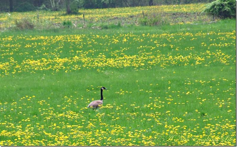 goose field