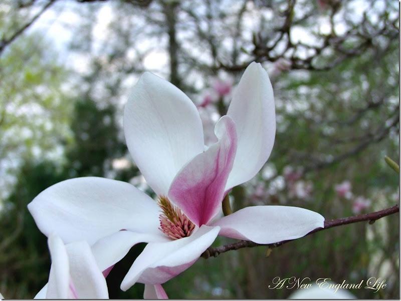 Magnolia flower b