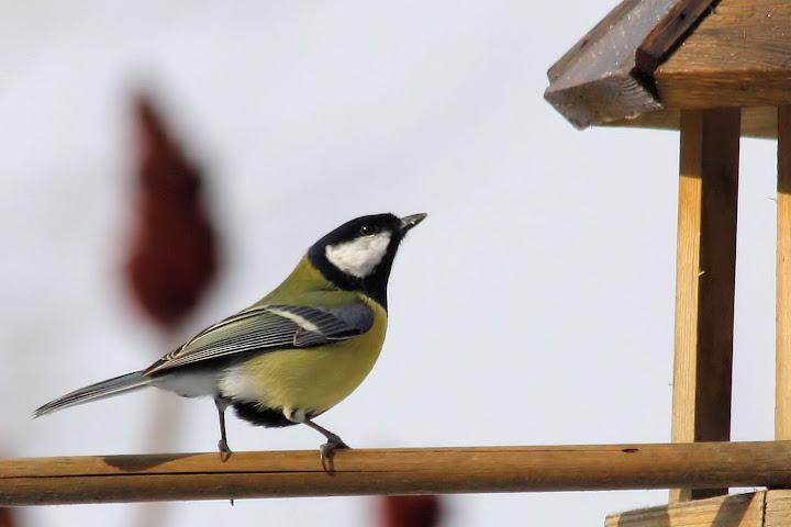 les oiseaux du jardin (fil ouvert) _MG_1524mod