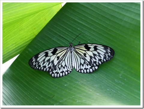 Papilio_butterfly