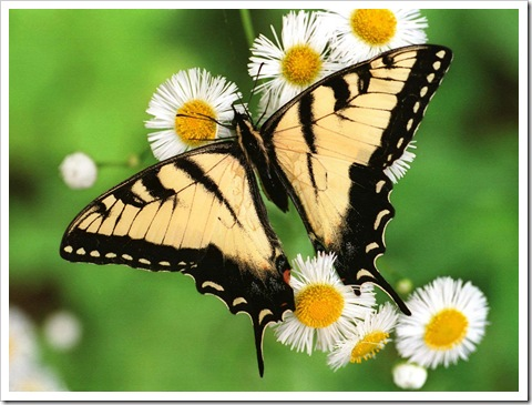 Butterfly_-_Tiger_Swallowtail