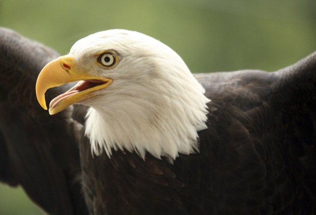 Wildlife-photography-eagle