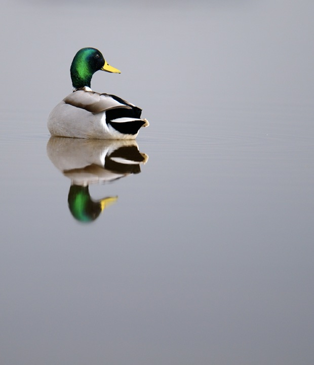Mallard drakes photography