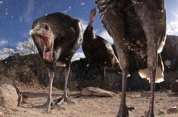 Wild Turkey, Los Ojos Mexico