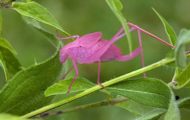 Pink Katydid photos at Mellody Farm, Lake Forest, Illinois