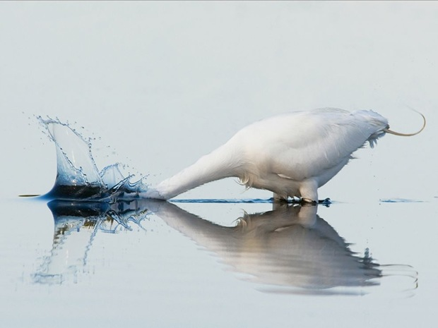 Animal-photography- Great-White-Egret