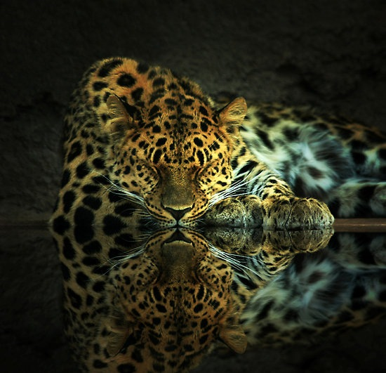 Leopard: Animal photography and reflection