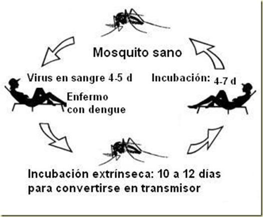 Ciclo dengue