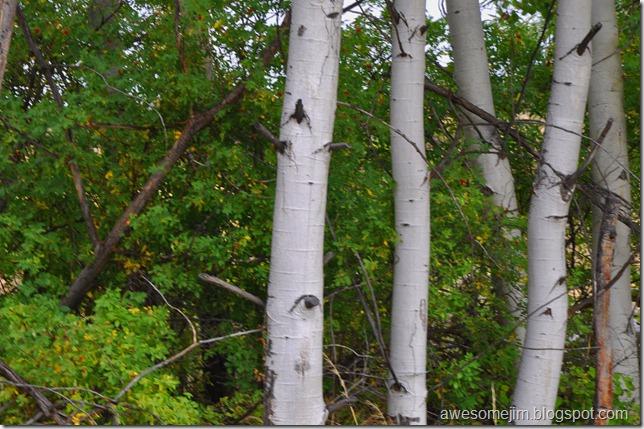 birches again
