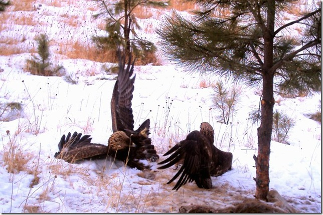 Golden Eagles Fighting,,,,,,,,by Ron Tietsort