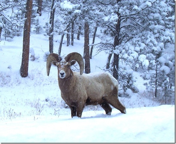 Big Horn Rock Mtn Sheep in Custer State Park, winter 2011
