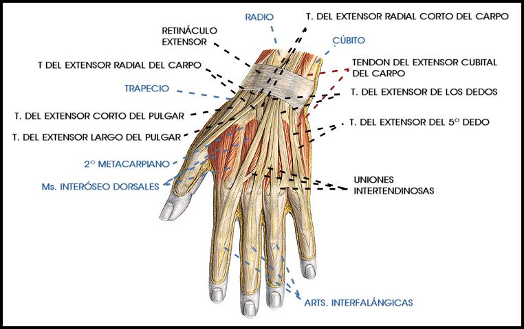 Moderno Ligamentos Y Tendones De La Mano Viñeta - Anatomía de Las ...