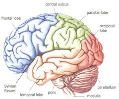 human-brain-3
