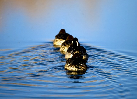 Ducksinarow1