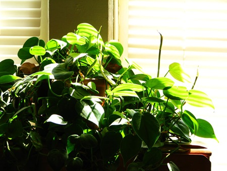 windowplant
